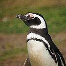 Magellanic Penguin, Falkland Islands by Geoffrey Higges