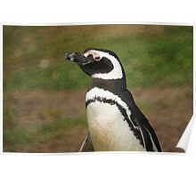 Magellanic Penguin, Falkland Islands Poster