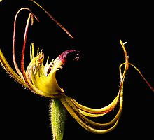 Small Mantis Orchid by Paul Amyes