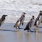 Magellanic Penguins, Falkland Islands by Geoffrey Higges