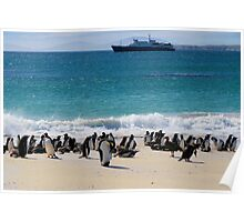Gentoo Penguins, Falkland Islands Poster