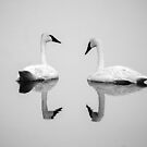 Trumpeter Swans (Cygnus buccinator): White on White by John Williams