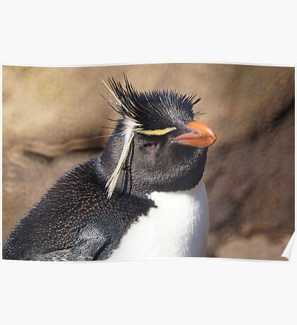 Rockhopper Penguin, Falkland Islands Poster