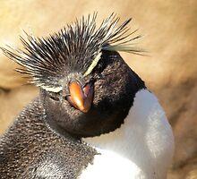Rockhopper Penguin, Falkland Islands by Geoffrey Higges