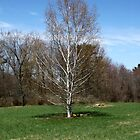 Beautiful White Birch Tree in the Spring by joycemlheureux
