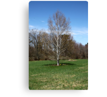 Beautiful White Birch Tree in the Spring Canvas Print