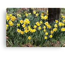Country Daffodils Canvas Print