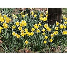 Country Daffodils Photographic Print