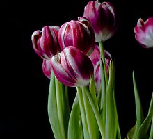 Photo of Pink Tulips Against Black Background by InanAksoy