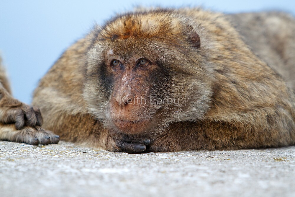 A Barbary Macaque In Gibraltar by Keith Larby