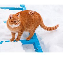 Red cat walking in the snow Photographic Print