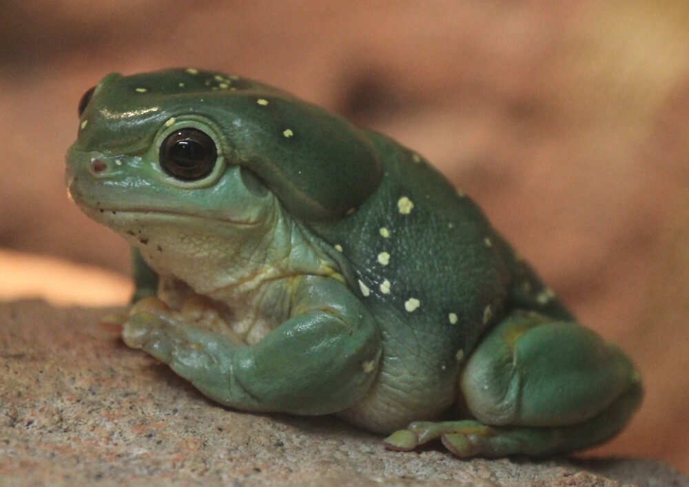 Green Tree Frog by v-something