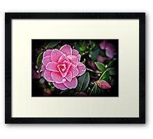 Pink Camellia Framed Print