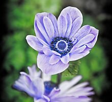 Pale Blue Flowers by mlphoto