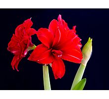 Red Amaryllis Photographic Print