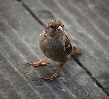 Cheeky Sparrow by lauracronin