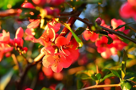 Red Wild Apple blossom  by 7horses