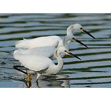 Snowy Egrets Photographic Print