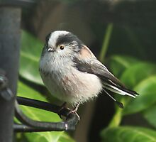 Short Tailed Tit? - there's a tale here somewhere! by Rivendell7