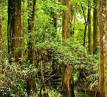 Cypress Trees by ejlinkphoto