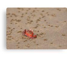 Ghost Crab (Ocypode guadichaudii) 1 Canvas Print