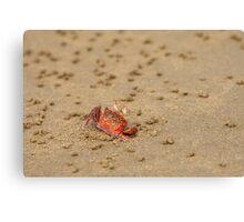 Ghost Crab (Ocypode guadichaudii) 3 Canvas Print