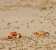 Pair of Ghost Crabs (Ocypode guadichaudii)  by Paul Wolf