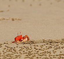 Ghost Crab (Ocypode guadichaudii) 4 by Paul Wolf