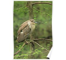 Juvenile Black-Crowned Night Heron ~ Poster
