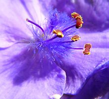 Spiderwort Macro by WildestArt
