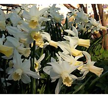 Aggressive Daffodil Photographic Print