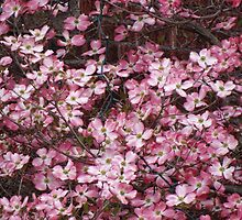 pink dogwood by vigor