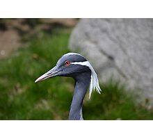 Demoiselle Crane, Red Eyes Photographic Print
