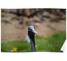 Demoiselle Crane, Red Eyes Poster
