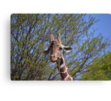 Reticulated giraffe Canvas Print