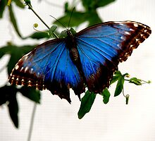 Blue Morpho - Perched by Barnbk02