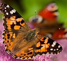 Painted Lady by DesDaly
