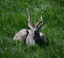 Lesser Kudu by JMG1883
