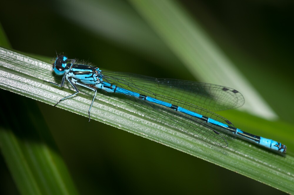 Dragonfly by DesDaly