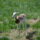 Addra gazelle, also known as the Dama gazelle by JMG1883