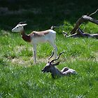 Addra Gazelle & Lesser Kudu by JMG1883