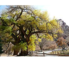 Giant Centennial Tree  Photographic Print