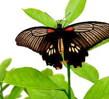 The Great Mormon Butterfly by Barnbk02