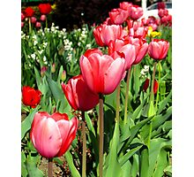 Tulips! Photographic Print