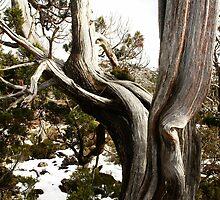 Huon Pine  Tasmania by MisticEye