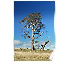 Gum Tree  Midlands Tasmania Poster