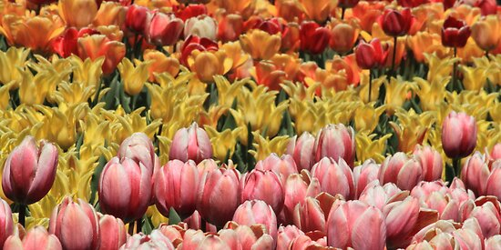 Color Of Tulips by Gene Praag