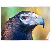Wedged Tail Eagle  Tasmania Poster
