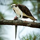 Osprey Dining On Remora by Joe Jennelle