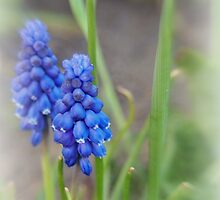 Grape Hyacinth by Linda  Makiej